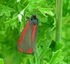 Cinnabar tansy-eating moth