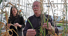 Jennifer Lorang and Tom Wolpert examine oats growing in a greenhouse at Oregon State University.