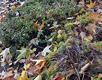Leaves as mulch