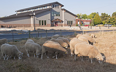 Teaching Facility and sheep