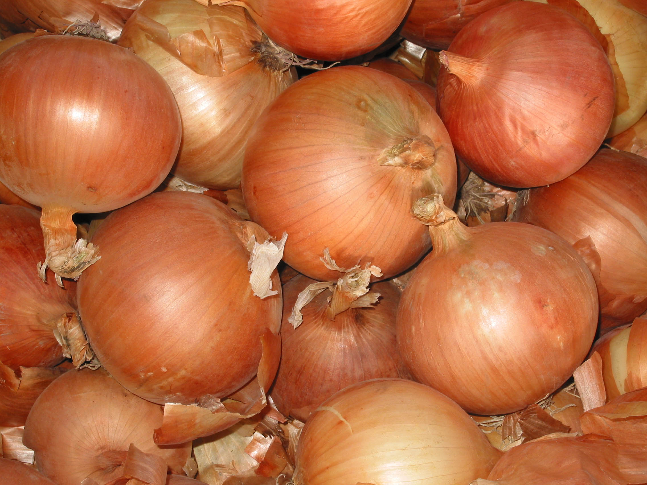 A sampling of Vaqeuro Onions, one of the many varieties grown and tested at the Malheur Experiment Station.