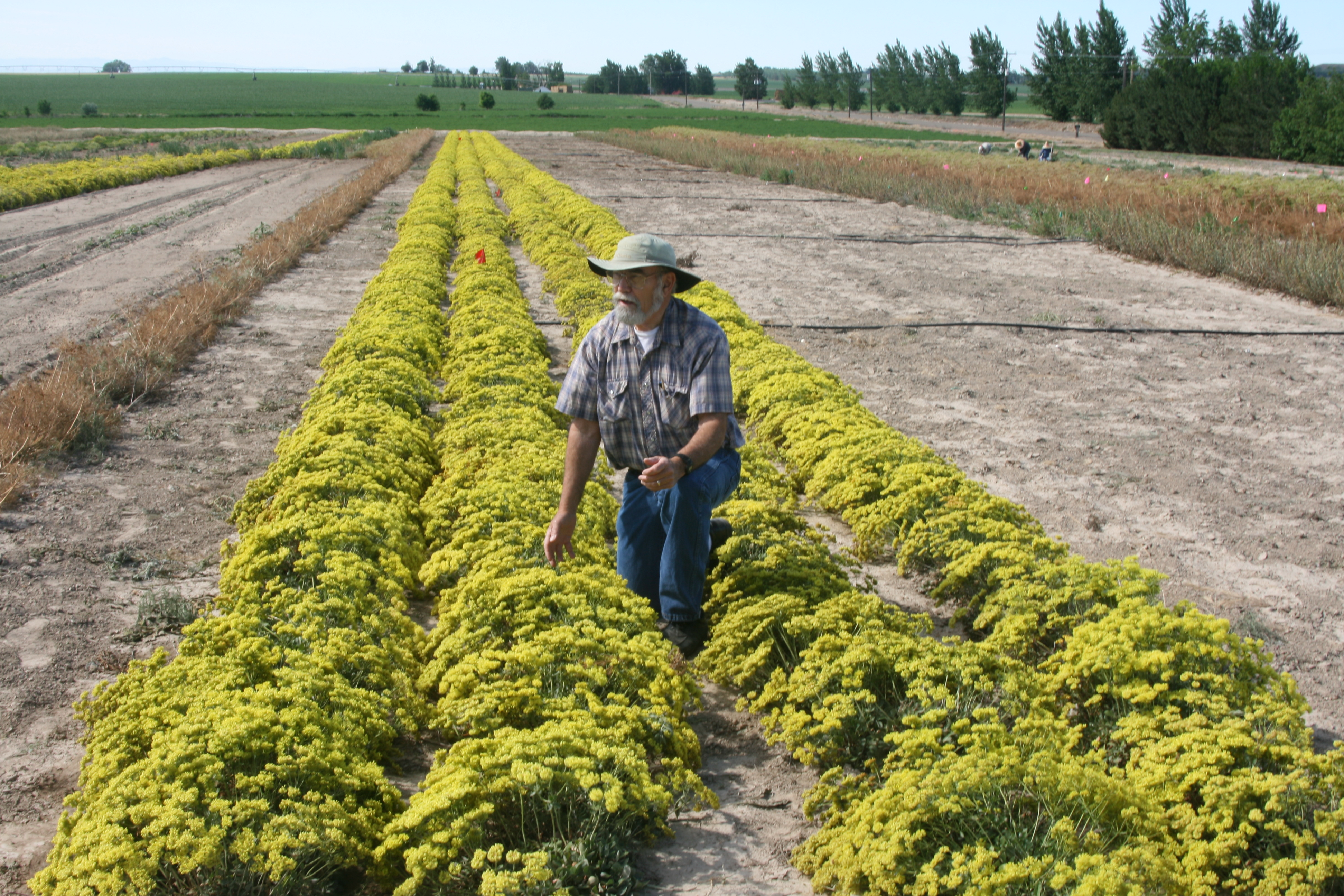 Clint Shock, MES Professor and Superintendent, Inspecting a row of Sulphur-Flowered Buckwheat at the Malheur Experiment Station.