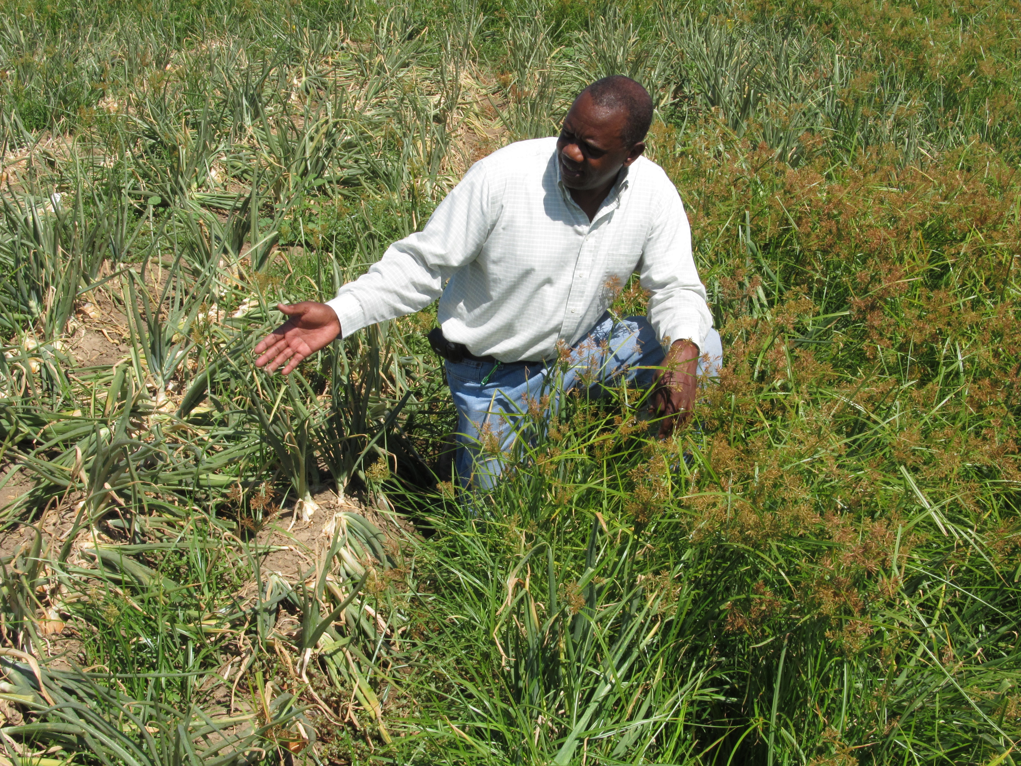 Joel Felix, Associate Professor, Displaying the Yellow Nutsedge Variety Trial at the Malheur Experiment Station.