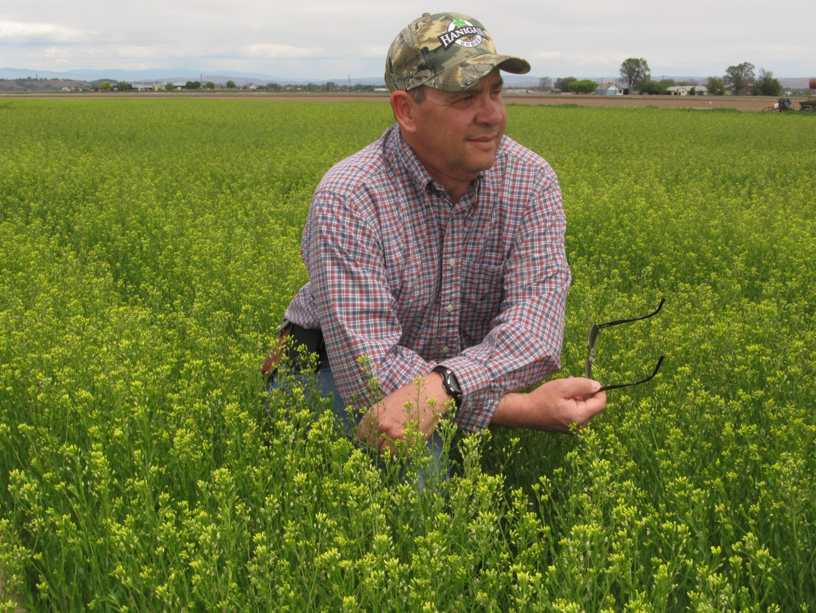 Monty Saunders, Biological Sciences Research Technician and Farm Foreman, in camelina research plots at the Oregon State University Malheur Experiment Station, May 6, 2015. The camelina was grown without irrigation.