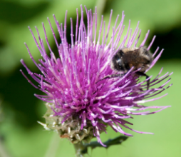 Many species of bees and flies pollinate commonly occurring flowers.