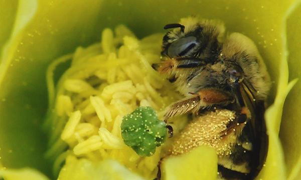 Cactus bee