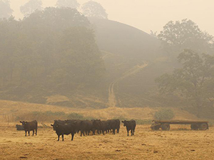 wildfire blackened hillside with cattle (Capital Ag Press)