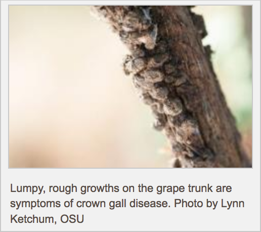 Crown Gall Disease