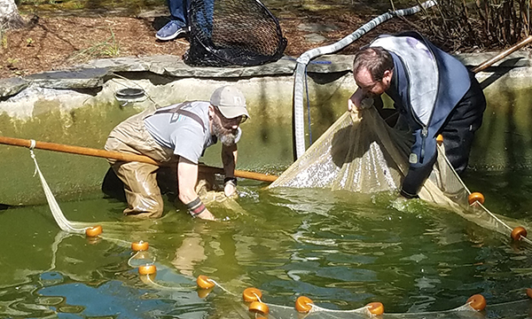 removing koi from a pond