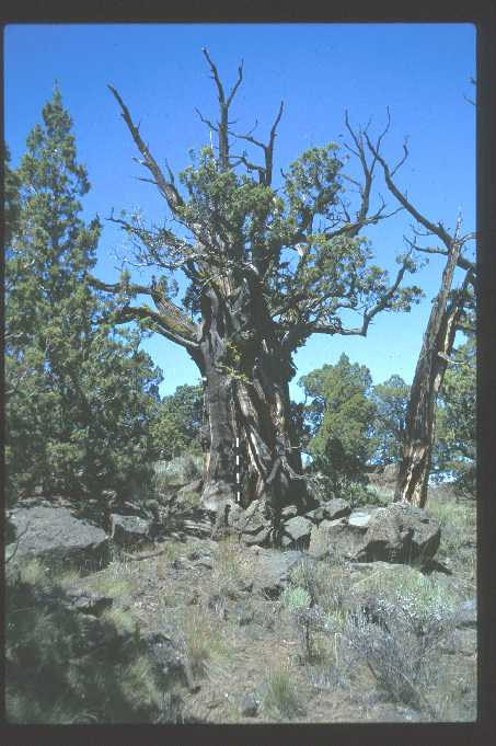 Oldest known living tree in Oregon at 1600 years old
