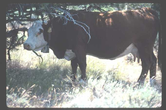 gps collared cow