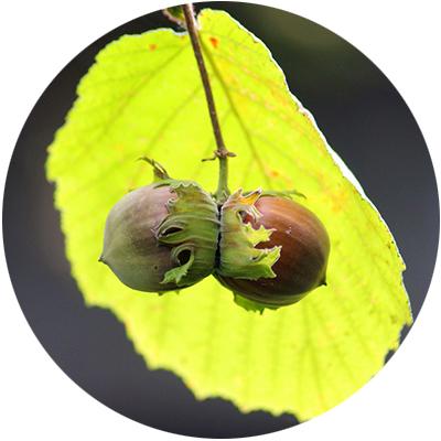 image of hazelnuts on stem