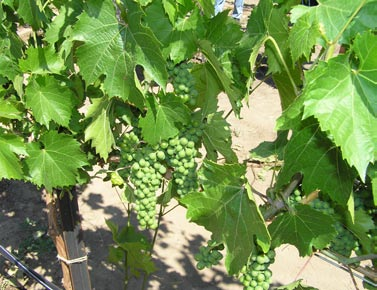 Cluster of grapes at the Ranch at the Canyons at Terrebonne, OR. Photo by Dana Martin