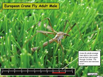 European Crane Fly