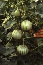 Melons: Cantaloupe, Muskmelon, Honeydew, Crenshaw, Casaba