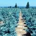 Nursery Crops