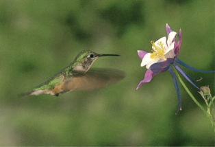 Hummingbirds are frequent pollinators of columbine in montane meadows