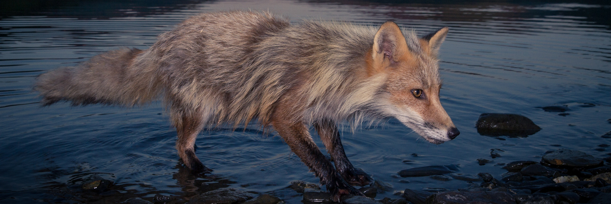 Kodiak Fox