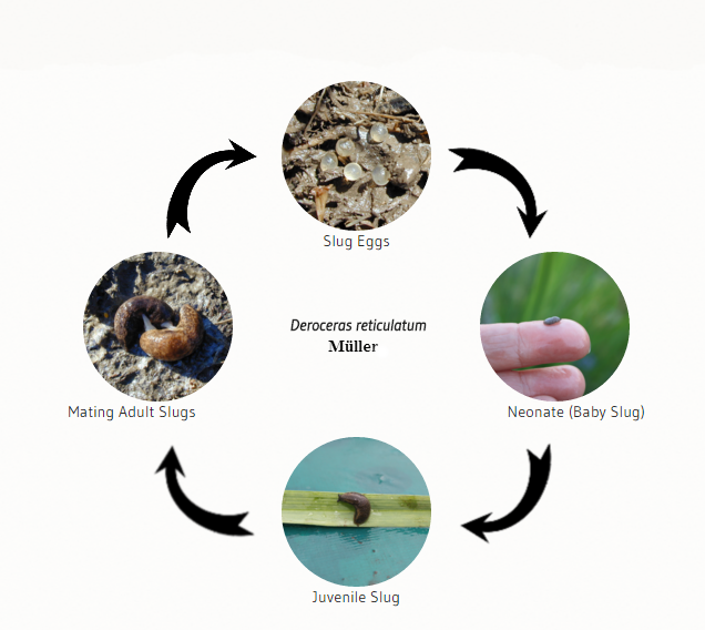 Slug Life Cycle