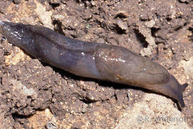 Milax Slug