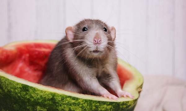 Mouse in Watermelon