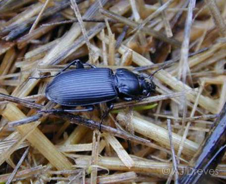 Ground beetle predator