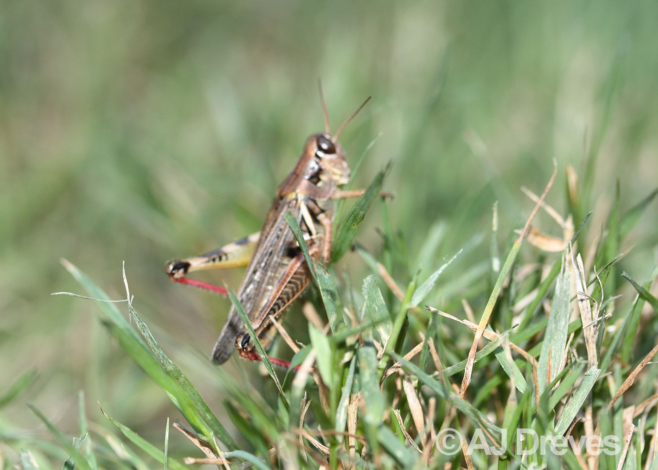 Red legged grasshopper in grass
