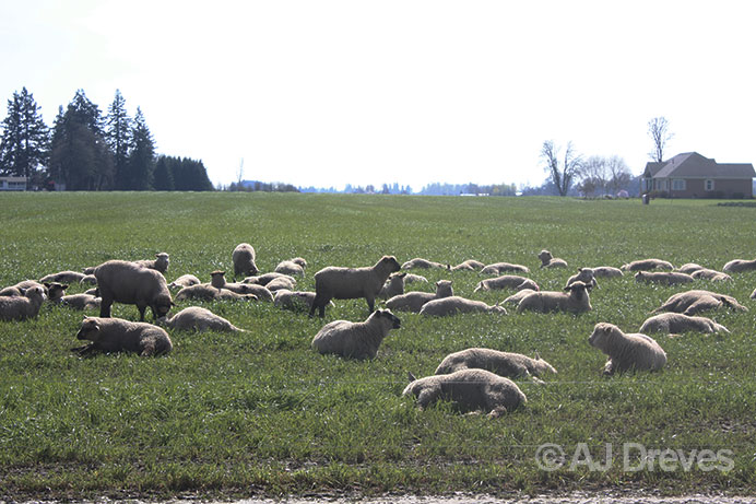 A field with sheep participating in a study