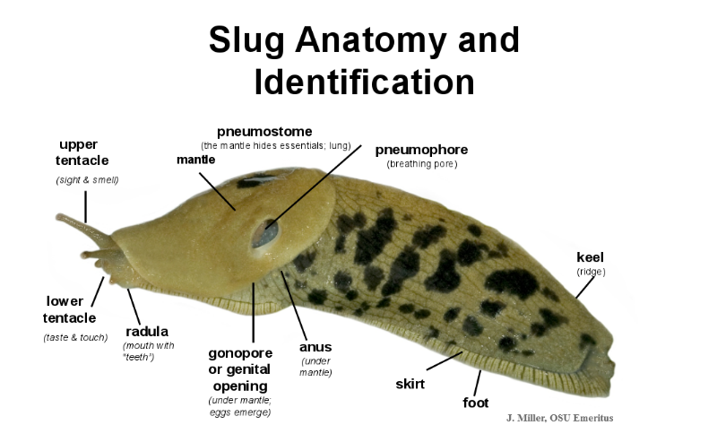 Banana Slug Anatomy Pictures to Pin on Pinterest - ThePinsta