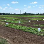Vegetable plots at the Vegetable Farm