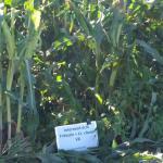 Interseeded corn