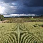 Drone flight over corn field