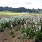 Foxglove at Silver Falls Seed