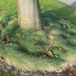 Tree Well with Fine Fescue as a Living Mulch