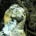 White mold on butternut squash