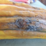 Fusarium on Delicata Squash