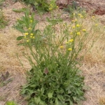 The rosette and upright habit of bristly hawksbeard. Image by:James Altland, USDA-ARS