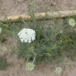 Flowers stalks emerge from bushy rosette of wild carrot. Image by: James Altland, USDA-ARS