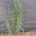 Horseweed sometimes branches low near the soil, but rarely branches above. Image by: James Altland, USDA-ARS