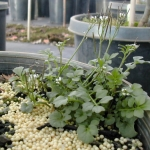 Bittercress can be problematic in container nursery settings. Image by: James Altland, USDA-ARS