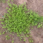 Prostrate habit of common chickweed. James Altland, USDA-ARS