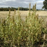 Redroot pigweed generally grows upright, forming large masses or clumps. Image by: James Altland, USDA-ARS