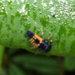 Ladybug Larvae on Rhododendron Leaf