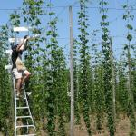 Pollinating Hops. Photo courtesy of: Randy Hopson
