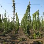 Hops to Harvest