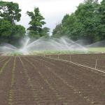 Irrigating Strawberries. Photo courtesy of: Randy Hopson