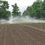 Irrigating Strawberries. Photo courtesy of: Randy Hopson