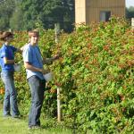 Picking Marionberries. Photo courtesy of: Randy Hopson