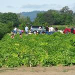 Gleaners at the Farm