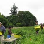 Picking beets